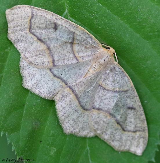 Hemlock looper? - Lambdina fiscellaria - male