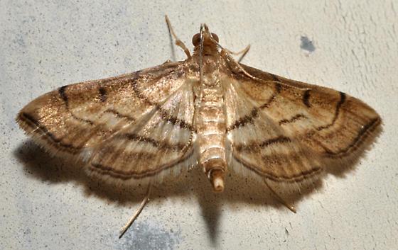 Light brown moth - Cnaphalocrocis trapezalis