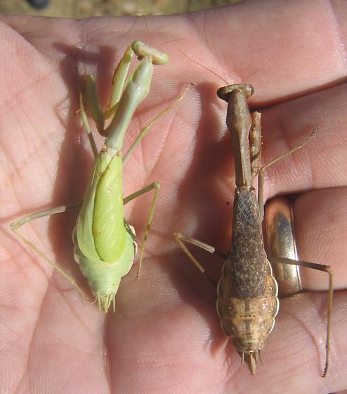 Stagmomantis californica - female