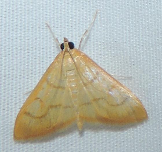 unkn moth - Neohelvibotys arizonensis