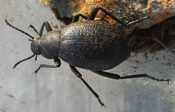 Beetle - Eleodes goryi