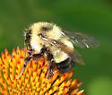 Bumble Bee - Bombus vagans - female