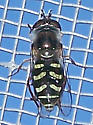 Eupeodes - Eupeodes volucris - female