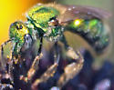 Metallic green bee - Augochlorella aurata - female