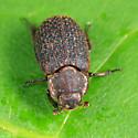 Hide Beetle - Trox aequalis - male