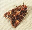 820 Aseptis binotata - Rusty Shoulder Knot Moth 9532 - Aseptis binotata