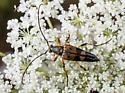 Longhorn beetle - Etorofus obliteratus