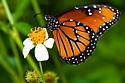 Danaus gilippus - Queen Butterfly - Danaus gilippus