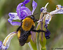 Magnuson Butte Bumble Bee - Bombus morrisoni