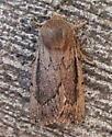 Noctuidae: Ufeus satyricus? - Ufeus satyricus