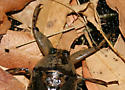 Lethocerus head close-up - Lethocerus medius