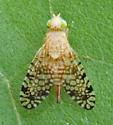 Fruit Fly - Campiglossa sp? - Euaresta aequalis - female