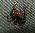 unknown beetle - Cyrtophorus verrucosus