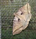 Moth - Celiptera frustulum