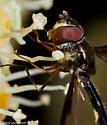 Insect on Fatsia bloom - Pelecinobaccha costata