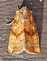 9473 – Papaipema impecuniosa – Aster Borer - Papaipema impecuniosa