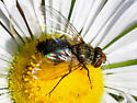 Clausicella sp. tachinid fly
