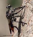 Robberfly - Andrenosoma