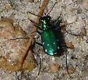 six spotted tiger beetle - Cicindela sexguttata