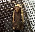 Ochropleura implecta  - Ochropleura implecta