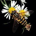 Helophilus sp.? - Helophilus fasciatus - female