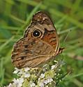 Buckeye - Junonia coenia - female