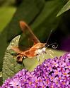 Clearwing Hummingbird Moth? - Hemaris thysbe