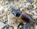 Carabidae? - Anisodactylus sanctaecrucis
