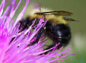 Which Bombus at home? - Bombus vagans