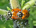 Convergent Lady Beetle - Hippodamia convergens - male - female