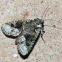 Moth 1 - Lacinipolia explicata