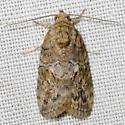 Black-olive Caterpillar Moth - Characoma nilotica