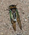 Cicada - Megatibicen cultriformis
