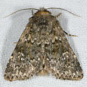 Mossy Pseudobryomima - Pseudobryomima muscosa