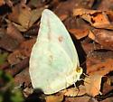 large sulphur - Phoebis agarithe