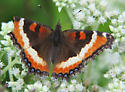Unknown butterfly - Aglais milberti