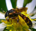 unknown wasp - Crabro - male