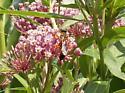 Wasp - Sphex ichneumoneus