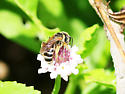 Unknown Bee - Halictus poeyi