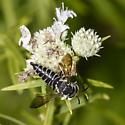 Coelioxys sp. Cuckoo-leaf-cutter female ? - Coelioxys modestus - female