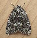 Noctuidae: Cryphia cuerva - Cryphia cuerva
