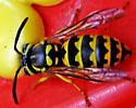 Western Yellowjacket - Vespula pensylvanica