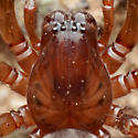 Carapace and eyes - Cybaeus eutypus - female