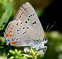 Acadian Hairstreak - Satyrium acadicum