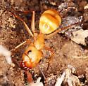 Camponotus? - Camponotus fragilis
