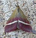 Pyrausta corinthalis  - Pyrausta corinthalis