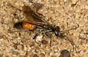 Wasp - Anoplius semirufus - female