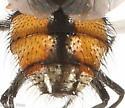 Tachina? - Musca autumnalis - male