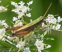 Short-winged Green Grasshopper (Dichromorpha viridis)? - Dichromorpha viridis - male
