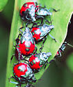 Colorful beetles - Euthyrhynchus floridanus